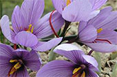 Crocus-OR.jpg
