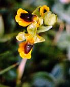 Ophrys-lutea-W.jpg