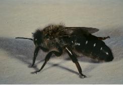 ape-regina-sicula-W.jpg